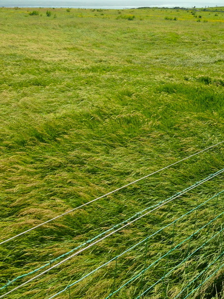 Irish Grass